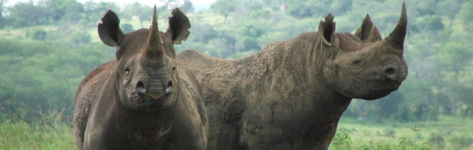 Rhino-Banner-mn3azu1lj39w7r44w67bhyxm2jaqxmnkg2kf5tv7qw